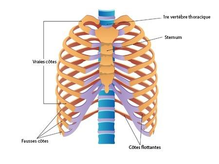 Anatomie de la cage thoracique