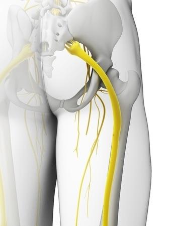 Anatomie du nerf sciatique